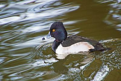 Ring-necked Duck - Judith Sparhawk