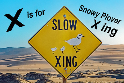 X is for Snowy Plover X-ing