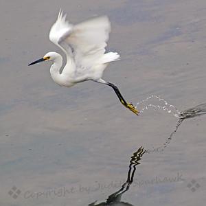 Snowy Egret Flight
