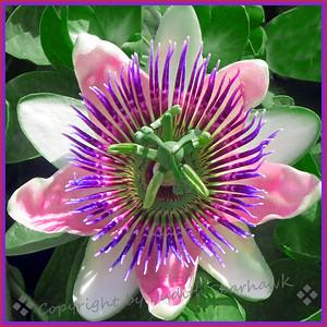 Passion Flower - Judith Sparhawk