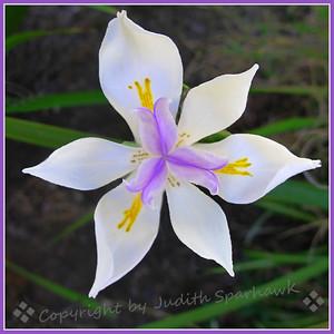Purple & White - Judith Sparhawk