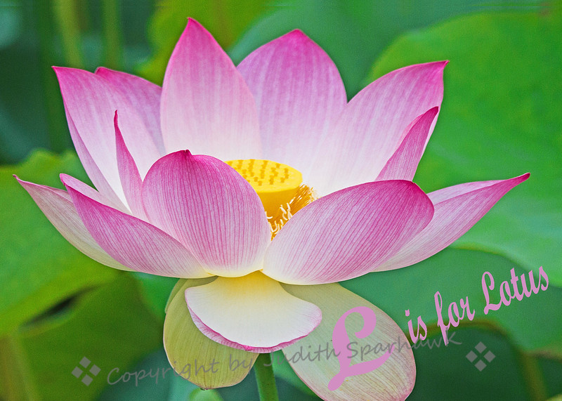L is for Lotus