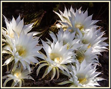 White Cactus Flowers - Judith Sparhawk