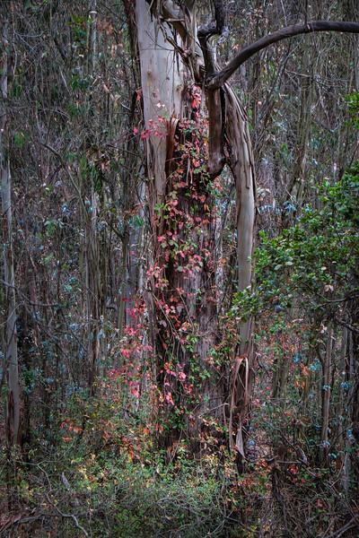 Climbing Poison Oak