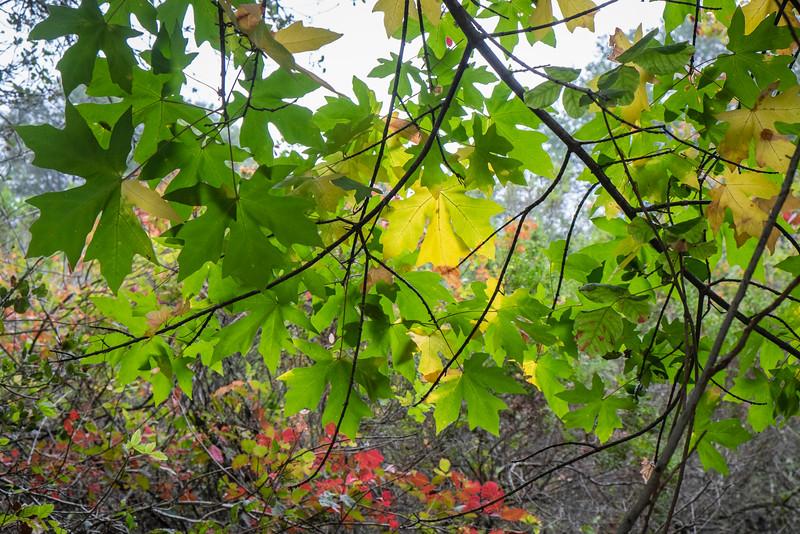 Backlit Sycamore Leaves