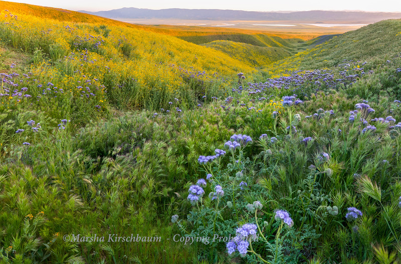 Temblor Range - Lush with Flowers