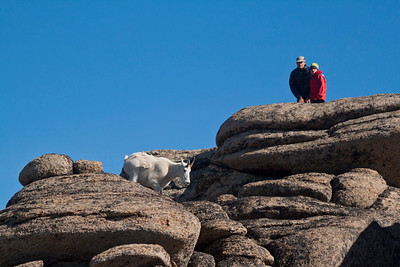 A father and son watch as a mountain goat (Oreamnos americanus) moves quickly through terrain in Stone City in Cathedral Lakes Provincial Park, British Columbia, Canada.