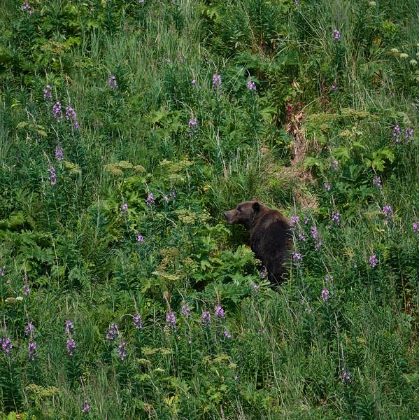Katmai CoastalBrown Bear Eating Salmonberries
