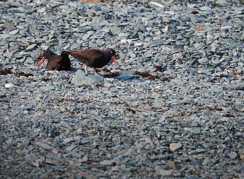 Oystercatchers Nesting