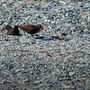 Oystercatchers Nesting