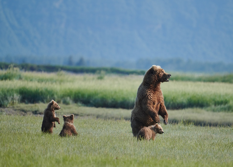 Sow with 3 Spring Cubs
