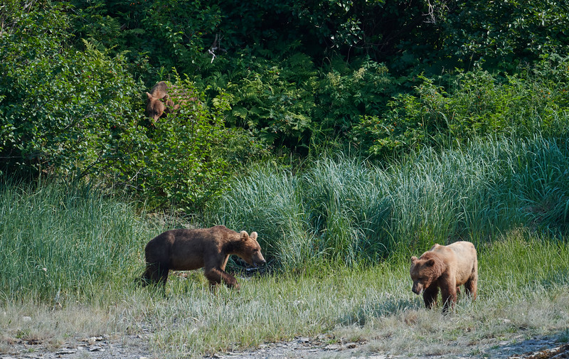 Mom Looks for Salmonberries While Cubs Wait by Shore