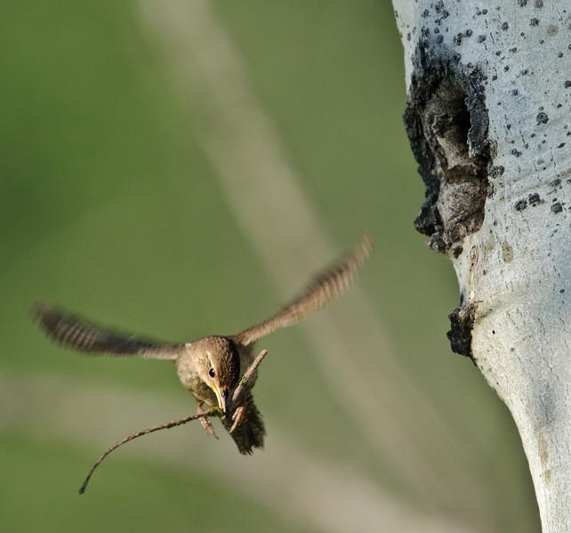 House Wren brings nesting material