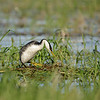 Western Grebe at nest, Lake Cascade
