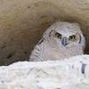 Juvenile Great Horned Owl