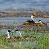Western Grebes make nests