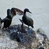 Brandt's Cormorant Nest