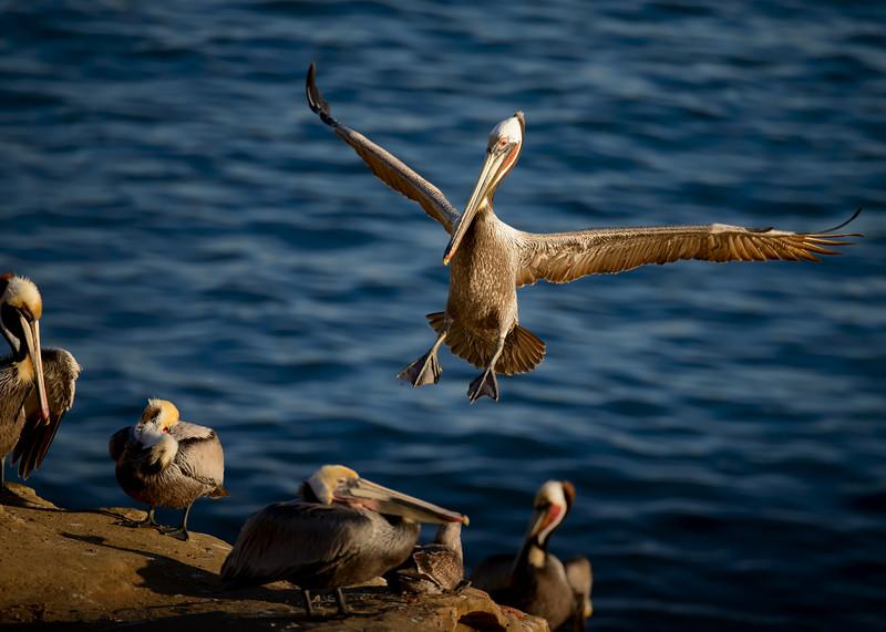 Brown Pelicans, La Jolla
