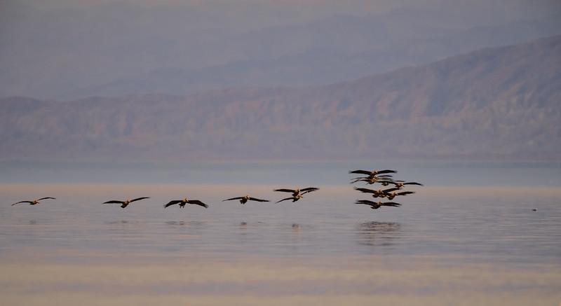 Brown Pelicans at Dusk,  Salton Sea