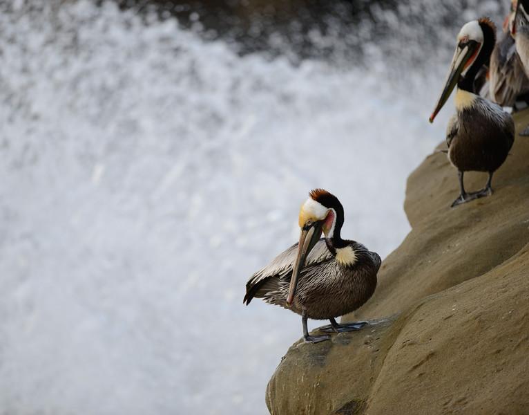 Brown Pelicans, La Jolla Cove
