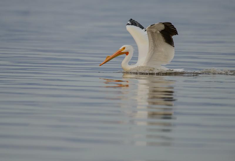 American White Pelican, Salton Sea