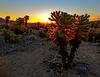 Cholla Cactus at Sunrise, Joshua Tree National Park