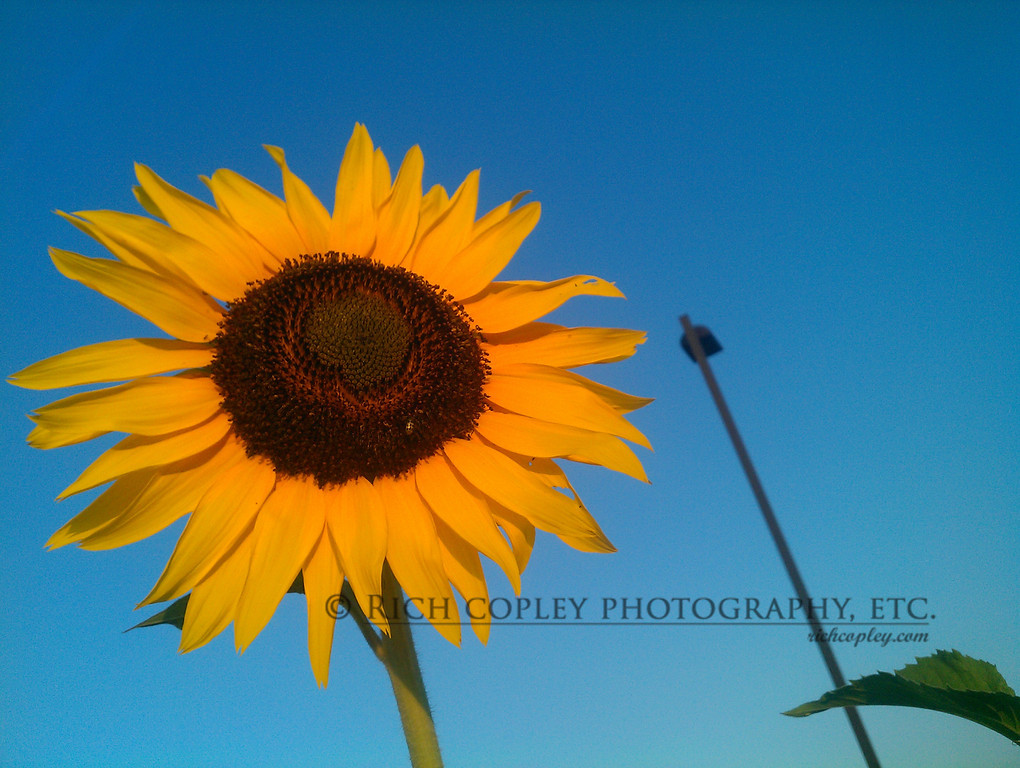 Aug. 7, 2012 - On my morning walk, I caught the first rays of the morning firing up this sunflower. That streetlamp can take the rest of the day off. (236/366)