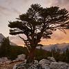 Bristlecone Pine near Bench lake