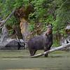 Moose Cow in Weiser River, Idaho