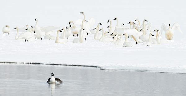 Tundra Swans and Goldeneye, Payette Lake, Idaho