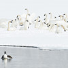 Tundra Swans and Goldeneye, Payette Lake, Idaho