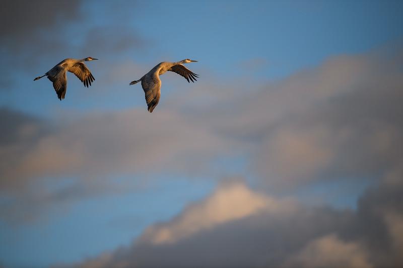 Sandhill Cranes Fly at Sunset