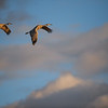 Sandhill Cranes Fly at Sunset