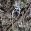 Great Gray Owl Chick, McCall, ID
