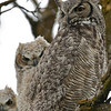 Great Horned Owl with Chick, Boise, ID