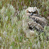 Great Horned Owl Fledgling