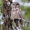 Great Gray Owl, McCall, ID