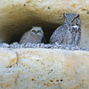 Great Horned Owl with Chick, Boise, Idaho