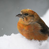 Red Crossbill, McCall, Idaho