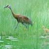 Sandhill Crane with Chicks, McCall, Idaho