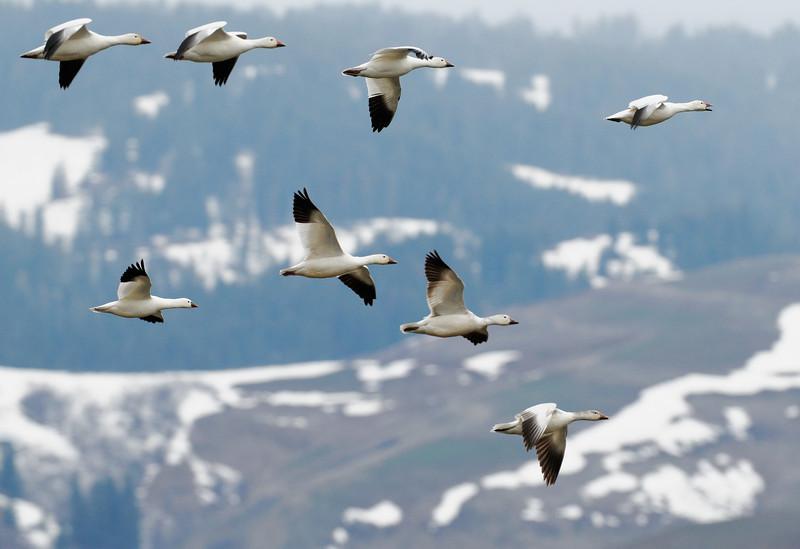 Snow Geese, Council, Idaho
