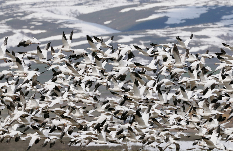 Snow geese lift off, Idaho