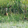 Sandhill Crane with chick and red-winged blackbird