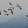 Snow Geese Migrating, Council, Idaho