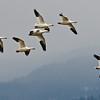 Snow Geese Migrating, Council, Idaho