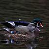 Wood Ducks, female and male