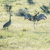 Sandhill Crane Dances