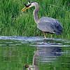 Great Blue Heron Fishing, Lake Cascade, Idaho