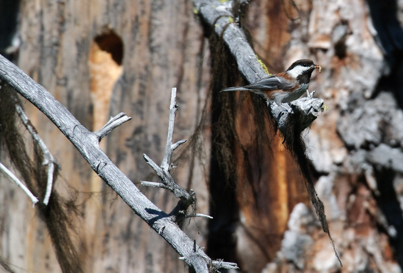 Chestnut-backed Chickadee, McCall, Idaho