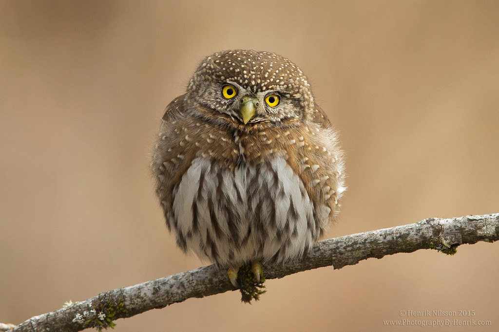 IMAGE: http://www.photographybyhenrik.com/Recent-Work/Recent-Work/i-FxfWk94/0/XL/Northern%20Pygmy%20Owl%201%20Mar%202015%20with%20Copyright-XL.jpg